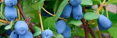 menu-haskap-berry